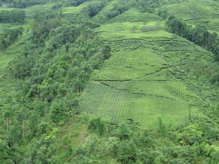 Tea Estate in Darjeeling